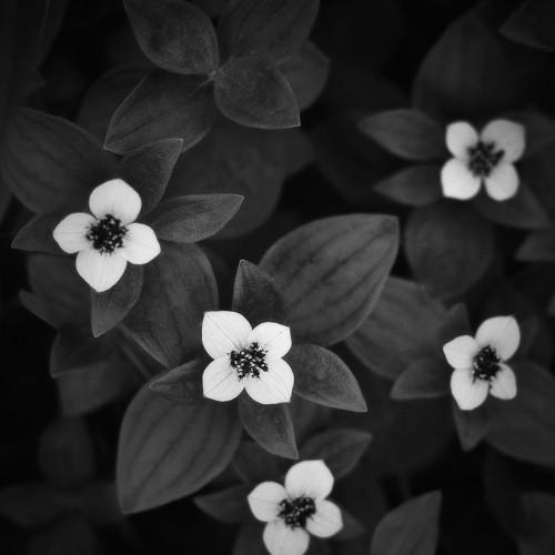 kolioli-20190725-Olga-Potapova-white-Khibiny-flowers-1-Kola-peninsula