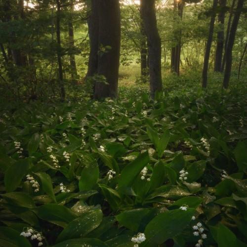 kolioli-20180601-Olga-Potapova-Hidden-in-foliage-Karelian-Isthmus
